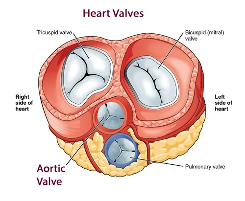 2011 Heart Valves Openstax